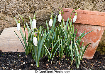 snowdrops with old planter in the garden