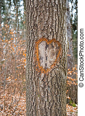 Heart on tree trunk - a heart on tree trunk in a forest