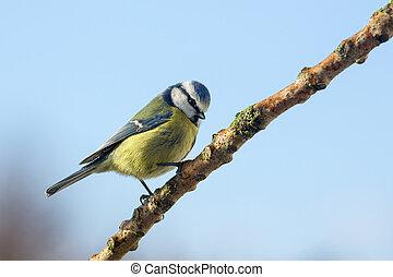 Blue Tit - Parus caeruleus - Garden Birds - A Blue Tit Parus...