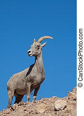 Desert Bighorn Sheep Ewe - a desert bighorn sheep ewe in the...