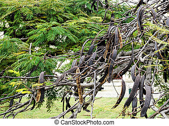 Carob Tree with Carobs - Carob Tree with lots of Carobs...