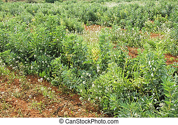 broad bean plants - view of a broad bean plants plantation