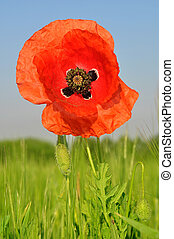 Poppy flower growing in wheat field