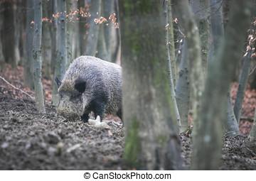 Wild hog in forest