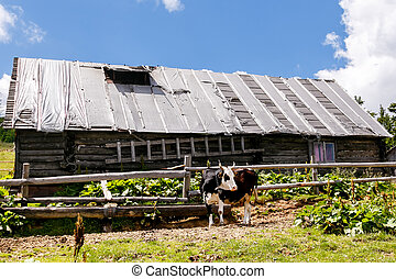 Cow near old wooden house in the mountains