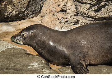 Hawaiian Monk Seal - Rare Hawaiian monk seal on dry land and...
