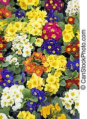 primroses - many colorful primroses filling the entire...