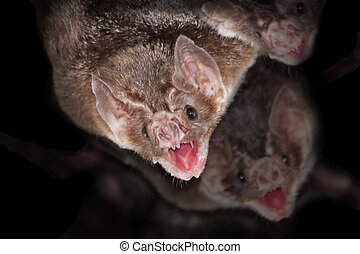 Common vampire bats Desmodus rotundus with black background...