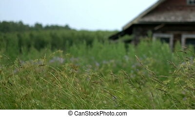 Swaying grass with wooden house - Swaying grass with country...