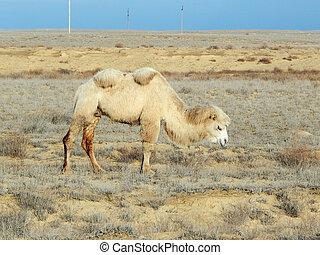 Bactrian camel. Atyrau region. Kazakhstan.