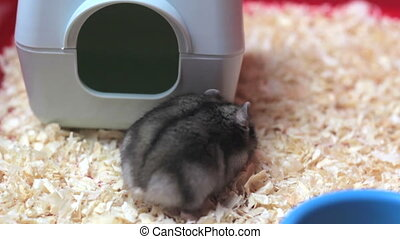 Funny hamster walking close up.