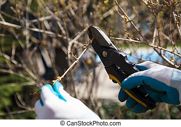 Pruning shrubs - hands in garden gloves holding garden...