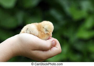 Sleepy little yellow chicken in children hand