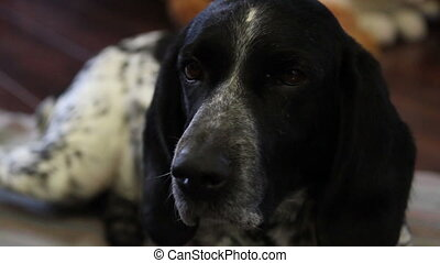 Hunting dog in house - Hunting dog in the house