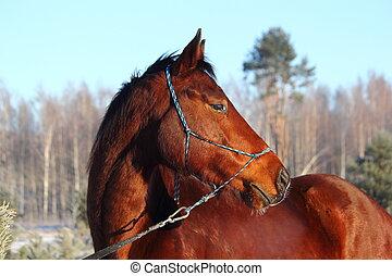 Bay beautiful holsteiner horse portrait  in winter