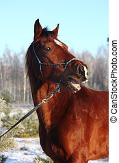 Bay horse neighing and laughing - Bay funny horse neighing...