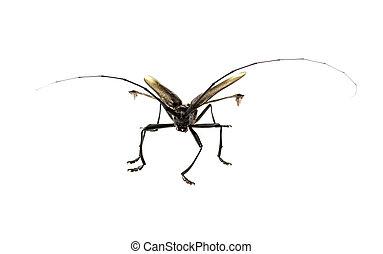 Capricórnio, besouro