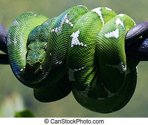 Python - Green tree python