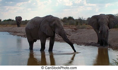 Elephants close up bathing in waterhole Nxai Pan National...