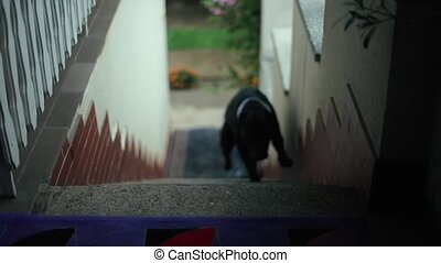 American Pit Bull Terrier Runs Up the Stairs.