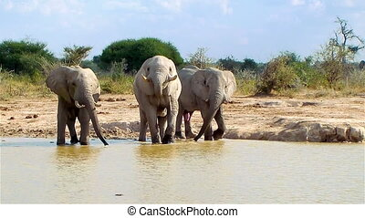 Elephant entering waterhole on a sunny day Nxai Pan National...