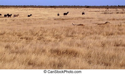 Lions sleeping and zebras walking in background Etosha...