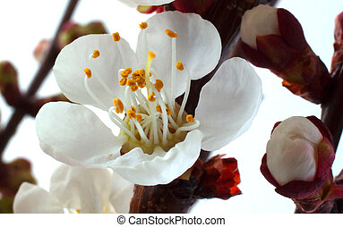 Apricot flower - Closeup of a white apricot flower on the...