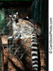 Ring-tailed Lemur Lemur catta looks out with big, bright...