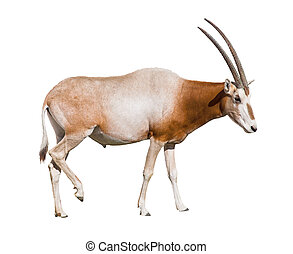 Scimitar Horned Oryx damma cutout - Scimitar Horned Oryx...
