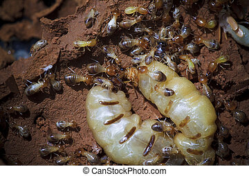 termite - Termites at a small hole in the timber of an old...