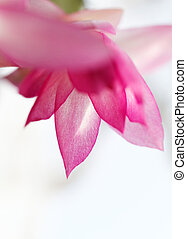 Christmas cactus - Photo of the beautiful christmas cactus...