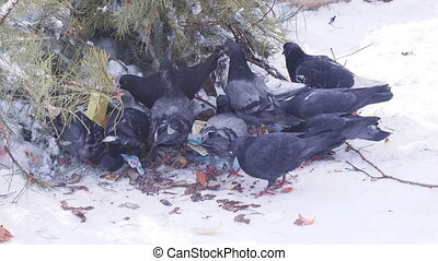 Pigeons in snow winter - Pigeons are looking for food on...