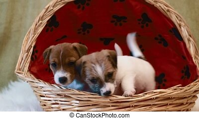 Two puppy jack russell terrier in basket