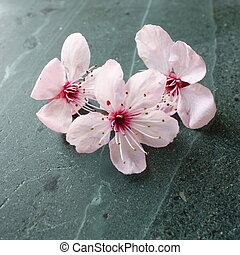 Pink Blossom on Slate - Pink cherry blossom on green...