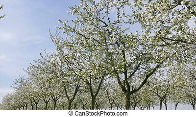 Cherry orchard in spring, zoom out - Agriculture, beautiful...
