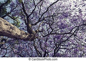 cielo, árbol, tronco, pequeño,  jacaranda, flores