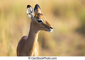 Baby impala looking alert to avoid predators - Baby impala...