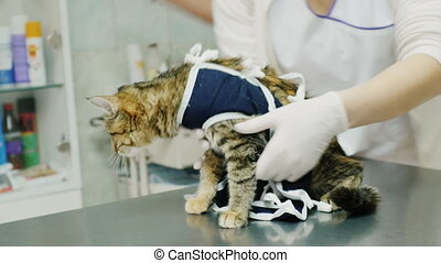 Veterinarian makes dressing a cat after surgery