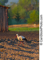 White stork on the field