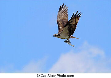 Osprey flying with fish - Osprey fllying with fish in talons...