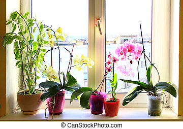 blooming multicolored orchids on the window-sill