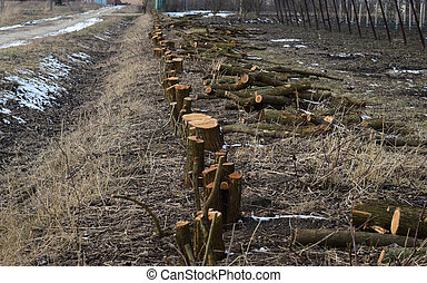 Stumps of felled mulberry trees. Clearing trees from space.