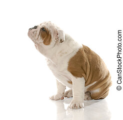 adorable puppy - red and white english bulldog puppy with...