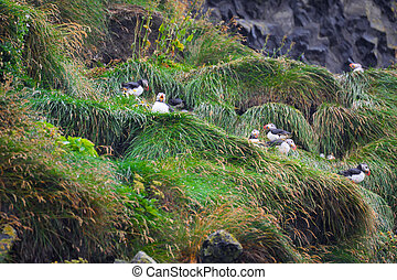 Puffins - Atlantic puffins nesting in Iceland
