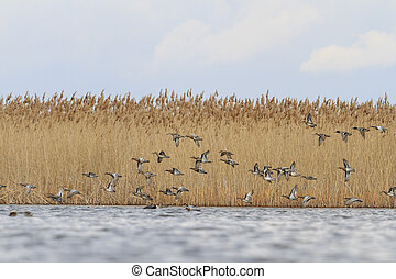 flock of migratory teals and over the water - flock of ducks...