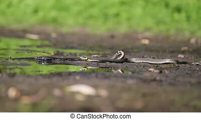 Grass snake creeps on the ground - Grass snake pulls in the...