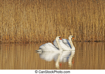 pair of swans swimming in the warm light near - swans...