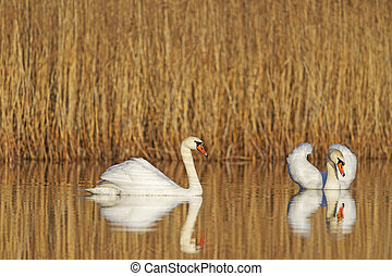 pair of swans swimming together
