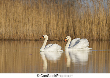 swans couple in warm light - pair of swans swimming in the...