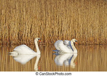 mute swans pair in all its glory - Swans pair in all its...